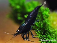 Caridina cantonensis sp. Black Tiger